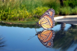 bj_kale_butterfly_reflection